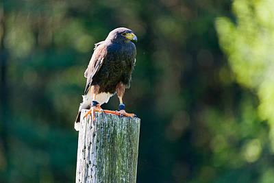 Harris Hawk Photograph - Harris Hawk Parabuteo Unicinctus by Panoramic Images