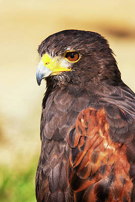 Harris Hawk (parabuteo Unicinctus Print by Piperanne Worcester