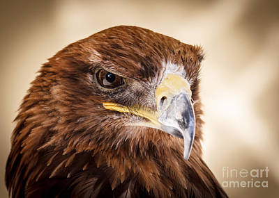 Photograph - Harris Hawk Watching by Peta Thames