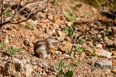 Harriss Antelope Squirrel Art Print by Mark Newman