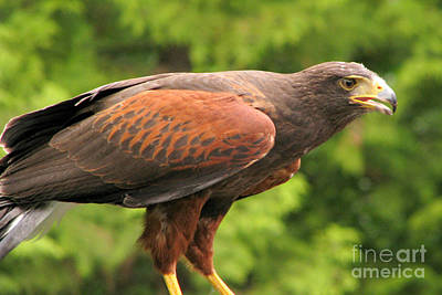 Photograph - Harris's Hawk by Frank Townsley