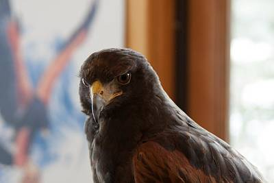 Photograph - Harris's Hawk by Wade Waldrup