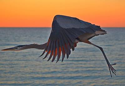 Photograph - Harry The Heron In Flight Close-up At Sunrise On Navarre Beach by Jeff at JSJ Photography