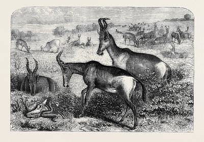 Antelope Drawing - Hartebeeste Antelopes by English School