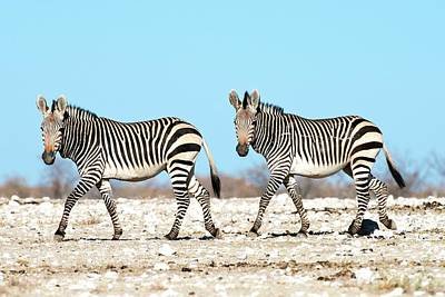 Zebra Photograph - Hartmann's Mountain Zebra by Tony Camacho