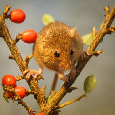 Harvest Mouse In The Berries Art Print by Izzy Standbridge
