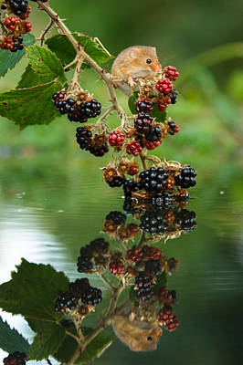 Harvest Mouse On Blackberries With Reflection Art Print