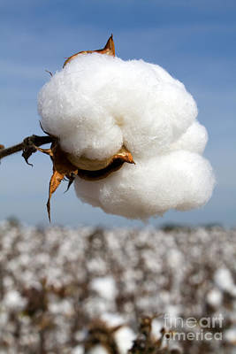 Photograph - Harvest Ready Cotton Boll by Steven Frame