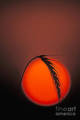 Wheat Silhouette Photograph - Harvest Sunset - Fs000416 by Daniel Dempster