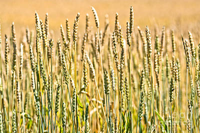 Photograph - Harvest Time by Cheryl Baxter