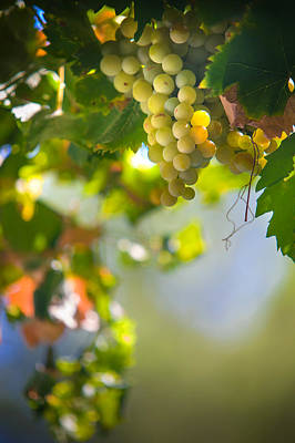 Grapevine Photograph - Harvest Time. Sunny Grapes V by Jenny Rainbow