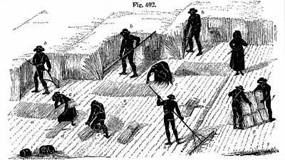Crop Rotation Wall Art - Photograph - Harvesting Corn by Universal History Archive/uig