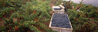 Napa Valley Photograph - Harvesting Grapes In A Vineyard, Napa by Panoramic Images