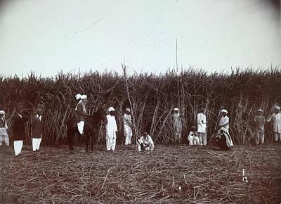 Harvesting Sugar Cane Art Print