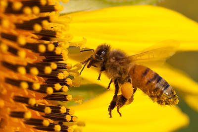 J Finch Photograph - Harvesting Sunflower Pollen by Jim Finch
