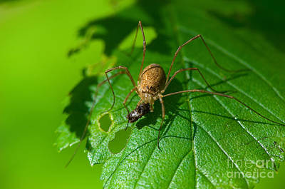 Harvestmen Photograph - Harvestman With Prey by Steen Drozd Lund