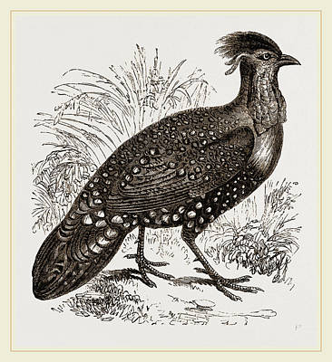 Pheasant Drawing - Hastings Horned Pheasant Male by Litz Collection