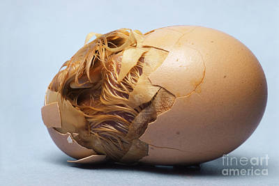 Photograph - Hatching Chicken by Tom McHugh