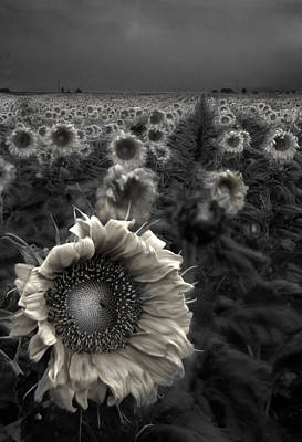 Black And White Art Photograph - Haunting Sunflower Fields 1 by Dave Dilli