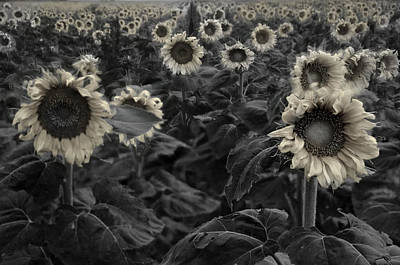 Haunting Sunflowers Field 3 Art Print