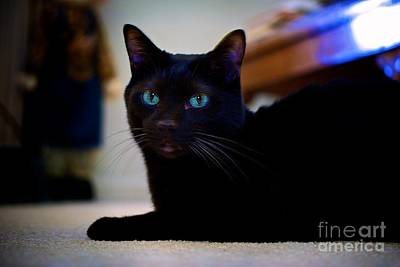 Photograph - Havana Brown Cat by Frank J Casella