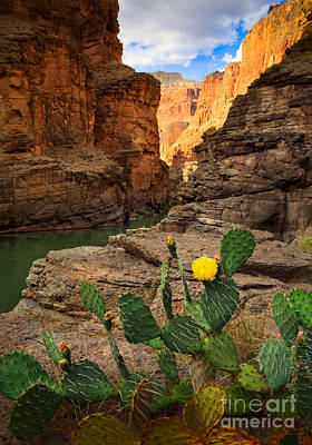 Grand Canyon Photograph - Havasu Cactus by Inge Johnsson
