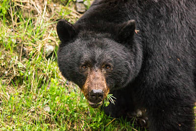 Kodiak Digital Art - Having A Salad Before The Main Meal Is Always Healthy-wild Black Bear by Eti Reid