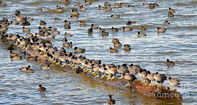 Photograph - Having Your Ducks In A Row   American Coots by Peggy Franz