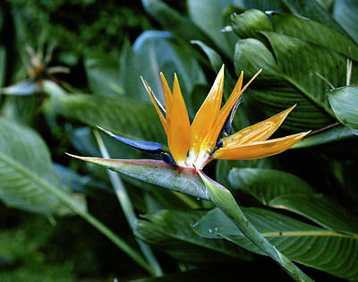 Yellow Bird Of Paradise Photograph - Hawaii Islands, Bird Of Paradise Flower by Douglas Peebles