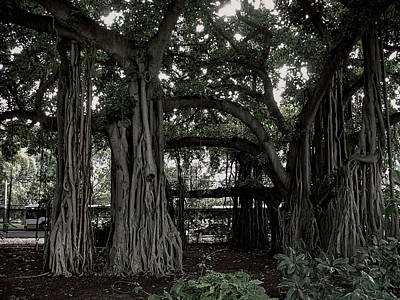 Hawaiian Banyan Trees Art Print by Daniel Hagerman