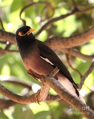 Photograph - Hawaiian Blackbird by Terri Thompson