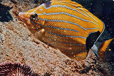 Photograph - Hawaiian Butterfly Fish by Bill Owen