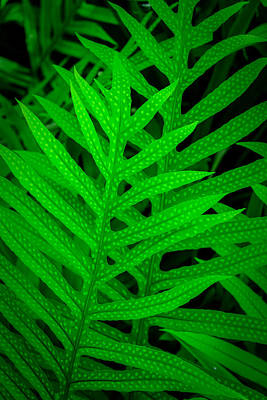 Photograph - Hawaiian Fern by Roger Mullenhour