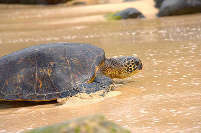 Hawaiian Green Sea Turtle Photograph - Hawaiian Green Sea Turtle 2 by Brian Harig
