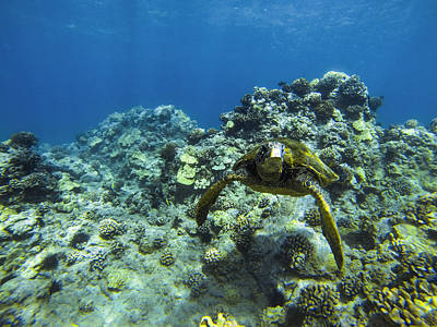 Hawaiian Green Sea Turtle Photograph - Hawaiian Green Sea Turtle by Brad Scott