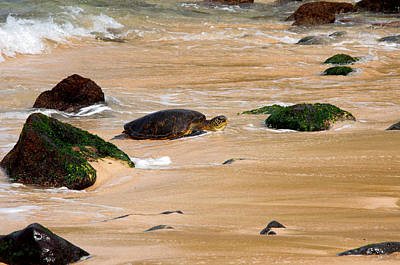 Hawaiian Green Sea Turtle Photograph - Hawaiian Green Sea Turtle by Brian Harig