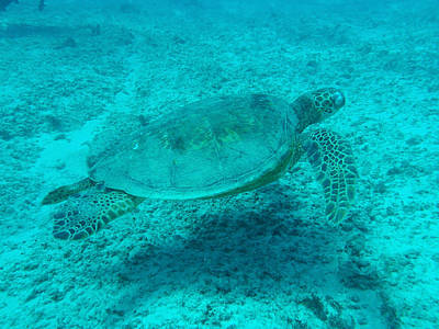 Hawaiian Green Sea Turtle Photograph - Hawaiian Green Sea Turtle by Ellen Henneke