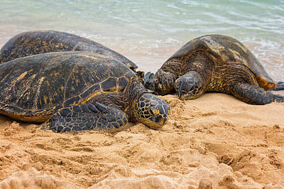 Hawaii Photograph - Hawaiian Green Sea Turtles 1 - Oahu Hawaii by Brian Harig