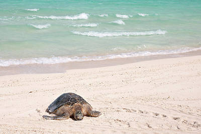 Hawaiian Green Sea Turtle Photograph - Hawaiian Green Turtle / Chelonia Mydas by Daisy Gilardini