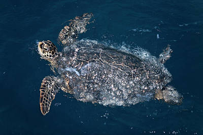 Hawaiian Green Sea Turtle Photograph - Hawaiian Green Turtle (chelonia Mydas by Daisy Gilardini
