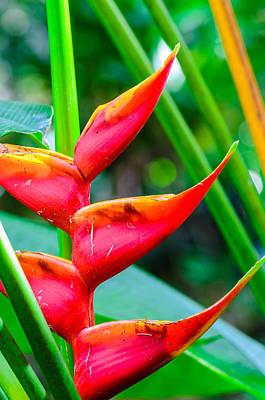 Photograph - Hawaiian Heliconias by Jason Chu