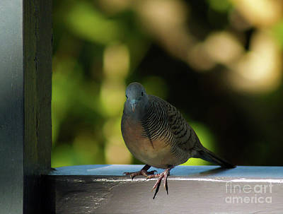 Photograph - Hawaiian Mourning Dove by Patricia Griffin Brett