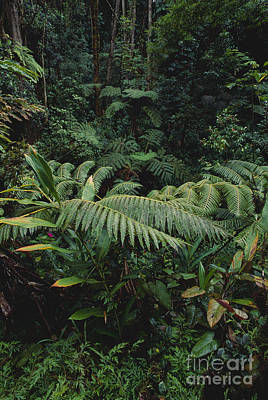 Hawaiian Flora Photograph - Hawaiian Rainforest by Art Wolfe