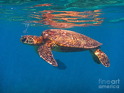 Photograph - Hawaiian Sea Turtle In Flight by Bette Phelan