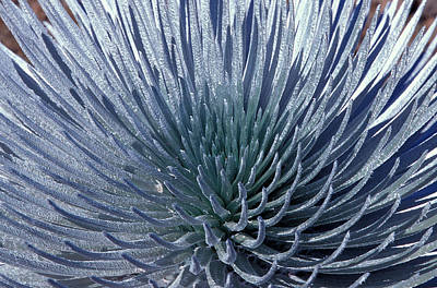 Hawaiian Flora Photograph - Hawaiian Silversword by Gerard Lacz