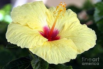 Photograph - Hawaii's Yellow Hibiscus by Elizabeth Winter