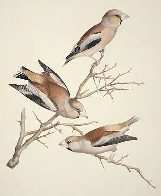 Hawfinches, 19th Century Artwork Art Print by Science Photo Library