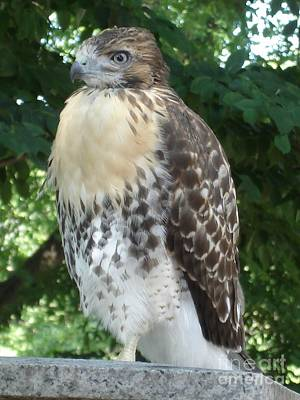 Photograph - Hawk 1 by Kerri Mortenson