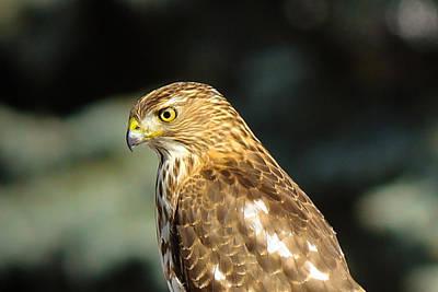 Mixed Media - Hawk 2 by Connie Dye