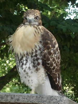 Photograph - Hawk 2 by Kerri Mortenson